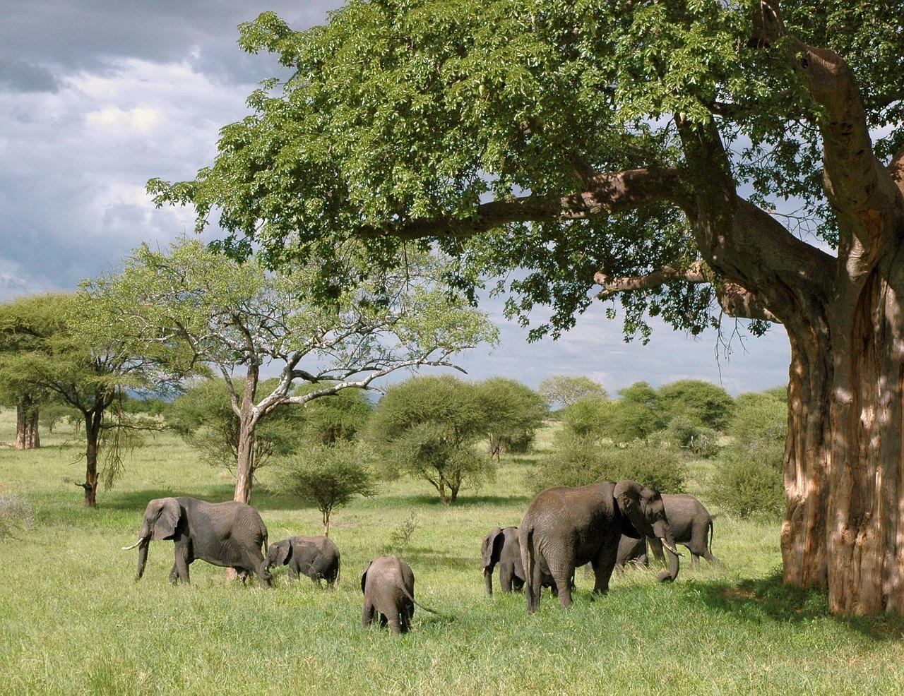 plaine, éléphants