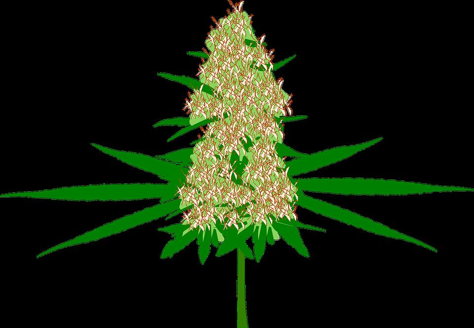 Cannabis, Bud, Marijuana, Chanvre, Plantes, Médecine