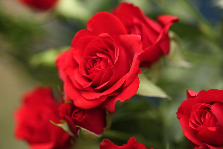 Offrir des roses éternelles