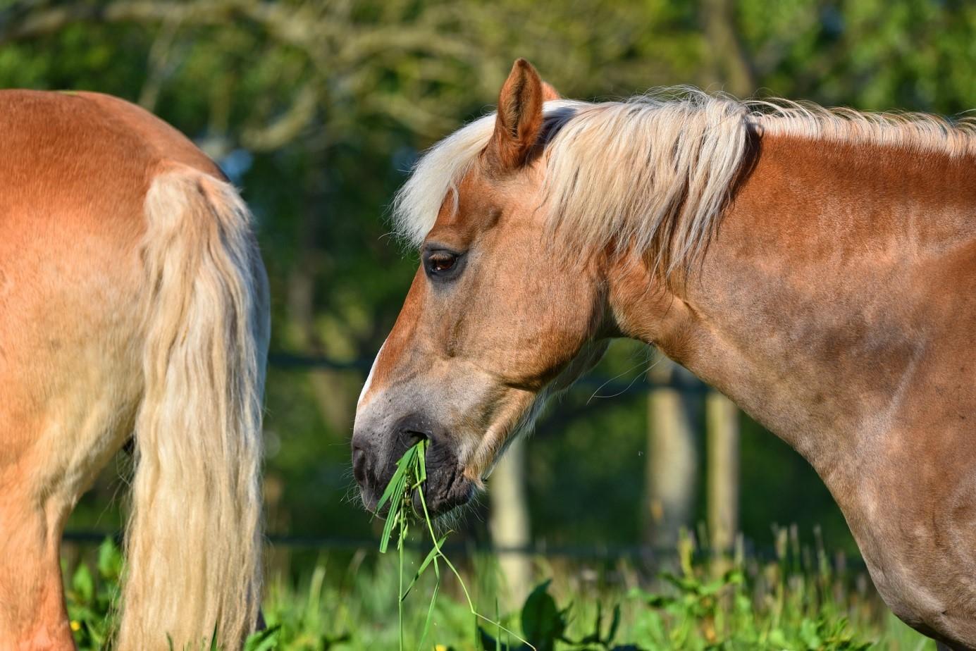 cheval mange herbe